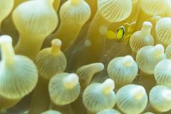 DSC_7207.jpg (d3_plus) Tags: sea sky fish beach japan scenery diving snorkeling 日本 shizuoka 海 空 j1 風景 izu anemonefish seaanemone 魚 景色 静岡 伊豆 skindiving クマノミ clarksanemonefish イソギンチャク minamiizu シュノーケリング 静岡県 素潜り 南伊豆 nikon1 hirizo 中木 ヒリゾ浜 nakagi nikon1j1 1nikkor185mmf18 スキンダイビング beachhirizo misakafishingport 三坂漁港 anemonefishyg clarksanemonefishyg クマノミyg
