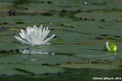 07092014-_MP46030_GF (michel paquin2011) Tags: forest luc boucherville nénuphar parc ponton île