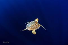 Tortuga  (3) (Xavier Mas Ferrá) Tags: azul ibiza tortuga mediterráneo caretta