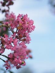 (Polotaro) Tags: flower nature pen garden olympus   zuiko  9     mzuikodigital45mmf18 epm2