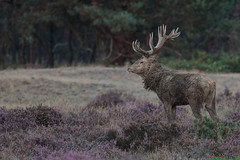 Red Deer (Wim Boon (wimzilver)) Tags: nature netherlands nederland natuur hogeveluwe neatimage edelhert nationalparkdehogeveluwe exposetotheright pscc wimzilver wimboon
