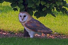 barn owl (Explored) (DODO 1959) Tags: nature birds wildlife raptor owl barnowl birdofprey icbop