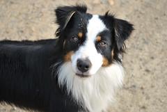 Brittany, France (Tiphaine Rolland) Tags: dog chien france nikon brittany sale shepherd bretagne dirty 1855mm 1855 australianshepherd d3000 bergeraustralien nikond3000