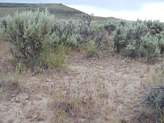 Sagebrush steppe: Steens Mountain Loop (at jct hwy 205), Oregon (Matt Lavin) Tags: oregon steensmountains cheatgrass bromustectorum sagebrushsteppe wyomingbigsagebrush artemisiatridentatawyomingensis steensmountainloop