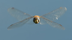 Migrant Hawker (image 1 of 2) (Full Moon Images) Tags: lackford lakes wildlife trust nature reserve insect macro flight flying hover migrant hawker dragonfly