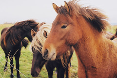 (aclaudine) Tags: 35mm film colors horses animals nature naturallight iceland hella canon