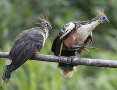 Peru (richard.mcmanus.) Tags: peru hoatzin manu bird rainforest aves latinamerica gettyimages