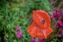 SCHCn°2DSC 2059 H (hermaion1) Tags: coquelicots pluie fleur flore botanique nature rouge