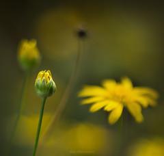 Last Flowers (Carla Mountain Spirit) Tags: flowerbud nature field macro macrodreams pentacon50mm vintagelens carlafreire yellowdaisys
