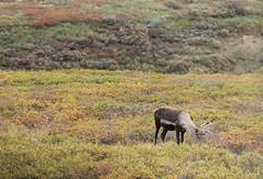 Denali NP ~ grazing Caribou - HBW! (karma (Karen)) Tags: denalinp alaska tundrawildernesstour usparks caribou grazing dof bokeh fallcolors hbw topf25