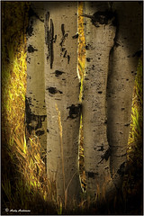 Aspens - Jackson Hole (wallawallaswede) Tags: antelope grizzly oxbowbend barns sheepelk