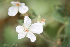 100x/67 White Flower (xTexAnne) Tags: diannewhite nikond7100 flower whiteflower flowersandplants 100x2016