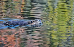 Mr. Beaver's Autumn Swim by Addison Likins (AccessDNR) Tags: 2016 photocontest fall autumn wildlife cedarville stateforest beaver swimming