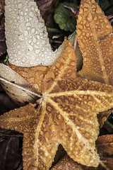 fall W.I. morning dew-1 (cityofhollandmi) Tags: fall leaves waterdroplets morningdew
