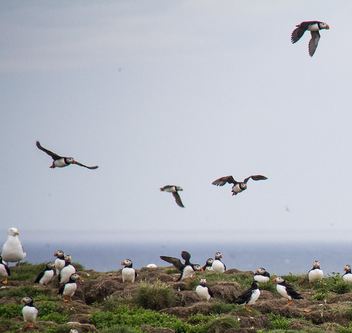 Puffins at Elliston 6