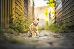 Benny (felicefelines) Tags: benny cat animal alley 85mm 2016