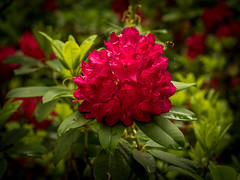 Rhododendron-6 (olipennell) Tags: blte botanischergarten mnchen nymphenburg pflanze rhododendron