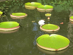 Water lily pads (Nymphaeaceae) (Joel Abroad) Tags: sarahpdukegardens durham northcarolina waterlily nymphaeaceae