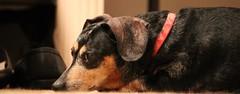 Sadie (Thanks for over 2 million views!!) Tags: chadsparkesphotography centralflorida canoneosrebelt5 dachshund dog animal pet