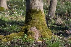 ckuchem-0311 (christine_kuchem) Tags: baumstamm baumstumpf bume frhjahr frhjahrblher frhling laubbume laubwald moos stamm wald waldweg wulst bewachsen kahl kalhl naturnah ste