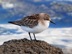 Red-necked stint (Hone Morihana) Tags: westerntreatmentplant shorebirds migratorybirds