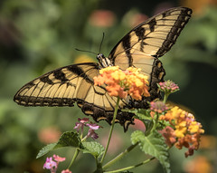 Tiger Swallowtail butterfly (Mark Chandler Photography) Tags: 7dmarkii flowers markchandler nature butterflies butterfly canon color colour eastern flower insect lantana mariposa photo photography stock swallowtail tiger tigerswallowtail yellow flora ga georgia