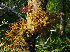 Oak (Quercus sp.), Taynish NNR (Niall Corbet) Tags: scotland argyll taynish nationalnaturereserve nnr oak quercus tree wood woodland forest quercussp