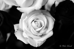 BW White Rose-0979 (Orkakorak) Tags: roses whit red bw