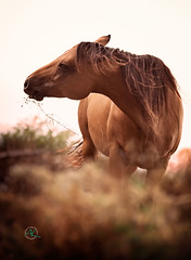 Quarter Horse Foal (Andreas Krappweis - thanks for 2,3 million views!) Tags: horse quarterhorse foal breed breeding younganimal copyspace outdoor wild tuscany landscape nature prairie
