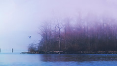 Into the Mystic (charhedman) Tags: milllake fog mist abbotsford trees water bird reflections purple dof