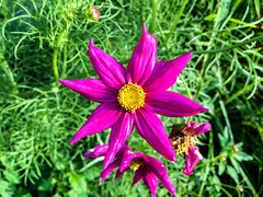 In the Center of Beauty (Hunh Anh Kit) Tags: kietbull iphone 6s f22 dof depth field blur apple amaranth purple blossom beauty yellow morning