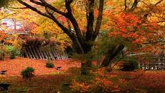 Autumn Colours  / Kyoto Saga Tenryu-ji Temple - Hougon-in (maco-nonchR) Tags: kioto kyoto hogonin hougonin arashiyama    autumn fall fallen fallenleaves fallfoliage  colour color lovely pretty place famous red garden garten sagano  tenryuji   diagonal composition goldenratio selectivefocus    forr manual allmanual