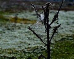 The webs that spiders throw (Nanny Bean) Tags: northyorkmoors autumn mist cobweb thistle