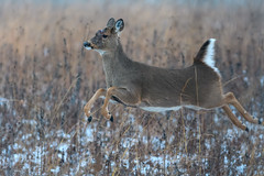 AngieDecJumping (jmishefske) Tags: wehr december nikon nature d500 center whitnall 2016 franklin disease angie wildlife wisconsin jump jumping park whitetail doe deer milwaukee
