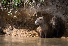 DSC_0858.jpg (riandar) Tags: brazil pantanal safari capybara wildlife mammals rodent nature