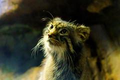 Pallas's Cat of Ueno Zoo :  (Dakiny) Tags: 2016 autmn november japan tokyo taito ueno outdoor nature park uenopark zoo uenozoo creature animal carnivore mammal feline cat wildcat nikon d7000 afsdxnikkor35mmf18g nikonafsdxnikkor35mmf18g nikonclubit