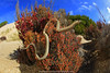 sand & sun.. (Rob Valentic - Gondwana Reptile Productions) Tags: pygopuslepidopodus sandandsky saltlake saline sanddune fowlersbay saltbush aridaustralianreptiles wideanglelizard wideanglereptiles rollei16hft distagon hft qbm leitax fisheyelizard fisheyezeiss pygopodidae australianleglesslizards sapygopus dunescape commonscalyfoot nullarborplainreptiles coastalsanddunes coastallimestone chenopodshrubland malleeheathland malleereptiles robvalentic canoneos5dmark3 spectacularaustralianlizards iconicaustralianlandscape concepts australianbeachlizards fowlersbaysanddunes australianlizards desertlizards southaustralianlizards southaustralianreptiles uppereyrepeninsula