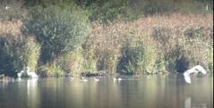 Silberreiher, Jungvogel im Spätherbst , NGIDn1248606868