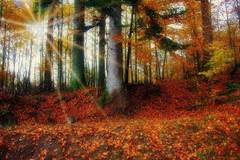 La forêt couleur ambre (mamietherese1) Tags: world100f saariysqualitypictures autofocus soe earthmarvels50earthfaves esenciadelanaturaleza redmatrix sailsevenseas abigfave coth coppercloudsilvernsun