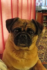pug stare (BarryFackler) Tags: animal creature organism being life fauna zoology biology dog pug domesticanimal pet companion friend canine quadruped vertebrate livingroom nebraska bellevuene 2016 mammal bellevuenebraska bellevue bigeyes barryfackler barronfackler stare mikey fur wrinkles expression