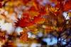 sapporo 458 (kaifudo) Tags: sapporo hokkaido japan hokkaidogovernor'sofficialresidence autumnscene maple autumnleave bokeh 北海道 札幌 北海道知事公館 nikon d750 sigma35mmf14art sigma 35mm 楓 カエデ 紅葉