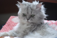 Face (akk_rus) Tags: 3570 28 nikkor nikkor357028 nikon d80 nikond80 marcello persian cat cats pet pets chat chats animal animals nature feline gato кот коты кошка chinchilla