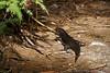 Land Mullet lizard, Springbrook NP, Australia (Tatters ❀) Tags: australia lizard black egerniamajor scincidae springbrooknationalpark