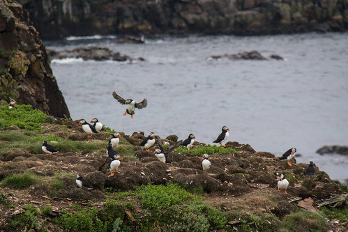 Puffins at Elliston 15