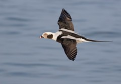 Long-tailed Duck male (mandokid1) Tags: canon canon500f4 canon400mm 1dx canon7dmk11 birds duck waterfowl