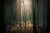 Golden light for trees (Petr Sýkora) Tags: les paprsky podzim nature forest trees light morning golden czech