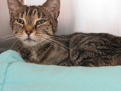 Mittens - 10 year old spayed female