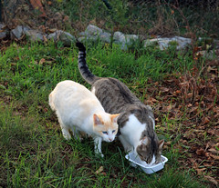 Chats de l'Hrault (Isaszas) Tags: europe southfrance sdfrankreich zuidfrankrijk midi mditerrane occitanie languedocroussillon hrault violslefort animals animalsprotection animauxdomestiques pets cats tomcat chatsdomestiques refuge shelter enclos chatsdegouttire alimentation nourriture extrieur outdoor canon eos5d isasza