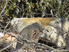 Gambel's Quail - Arizona by SpeedyJR (SpeedyJR) Tags: 2016janicerodriguez tucsonmountainpark gambelsquail quails birds wildlife nature tucsonarizona arizona speedyjr