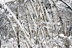 Snowy Birches, Potsdam, NY (Gary L. Quay) Tags: potsdam new york upstate birch birches snow nikon gary quay